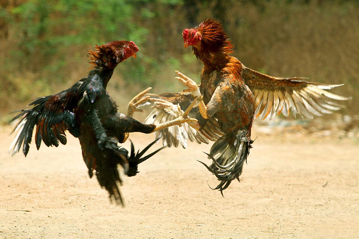 Cara Bermain dan Menang Judi Sabung Ayam