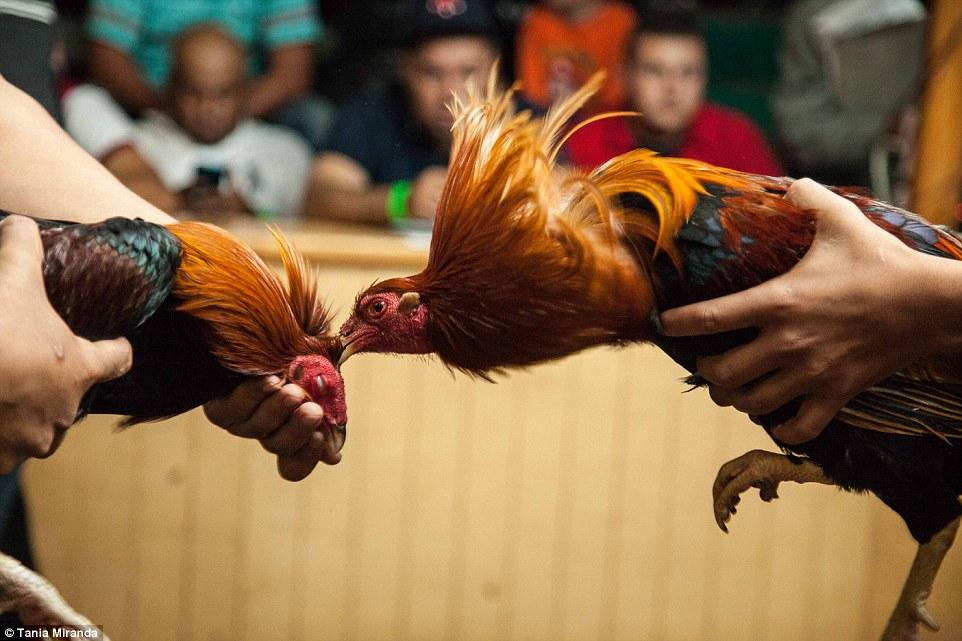 Mengenal Berbagai Istilah Dalam Sabung Ayam