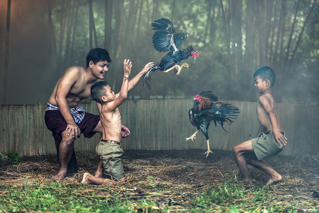 Istilah Dalam Permainan Judi Sabung Ayam Online